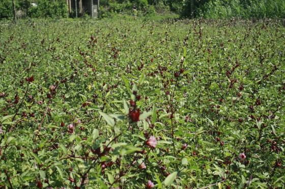 Cây Atiso đỏ đầu tiên trên đất Quảng Ngãi ảnh 1