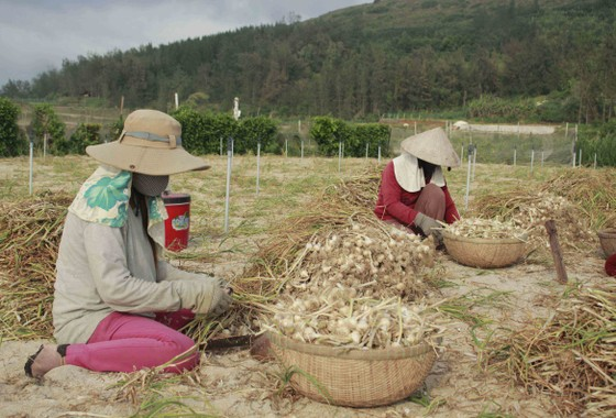 Quảng Ngãi: Tồn đọng hơn 280 tấn tỏi Lý Sơn, nông dân gặp khó ảnh 1