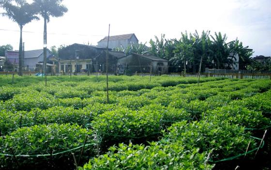 Người trồng hoa tết Quảng Ngãi lo lắng vì cây chậm phát triển ảnh 5