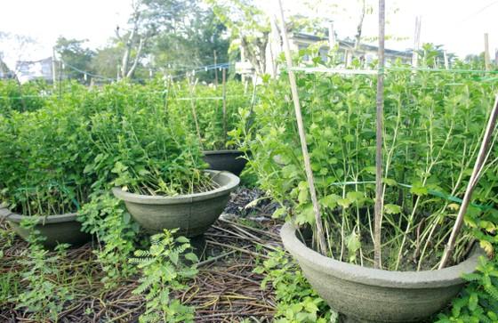Người trồng hoa tết Quảng Ngãi lo lắng vì cây chậm phát triển ảnh 1