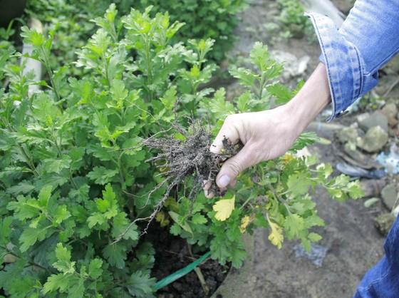 Người trồng hoa tết Quảng Ngãi lo lắng vì cây chậm phát triển ảnh 3