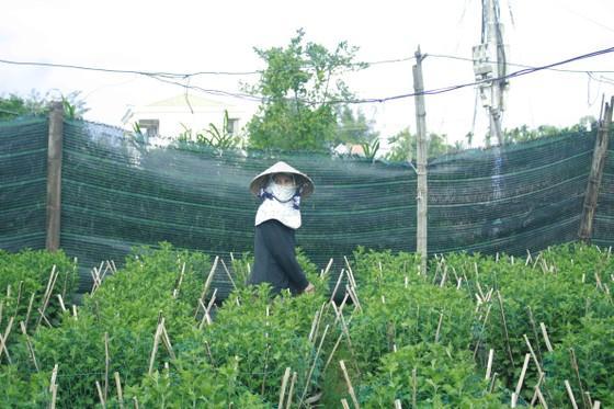 Người trồng hoa tết Quảng Ngãi lo lắng vì cây chậm phát triển ảnh 4