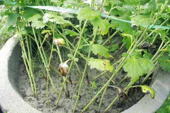 Người trồng hoa tết Quảng Ngãi lo lắng vì cây chậm phát triển ảnh 2