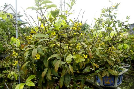 Quảng Ngãi: Mưa lạnh kéo dài, hoa mai nở sớm ảnh 3