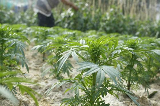 Ngư dân trồng hoa tết trên đảo Lý Sơn ảnh 4