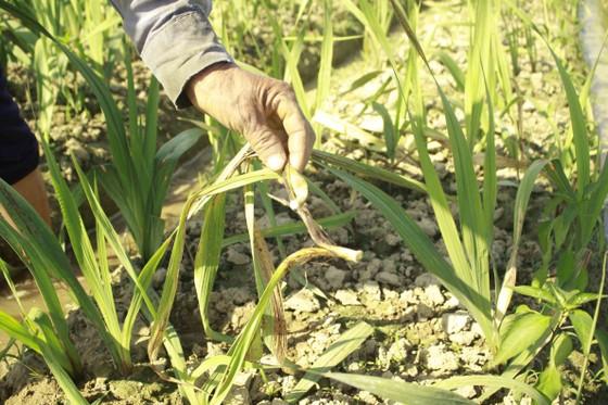 Nhiều diện tích hoa lay ơn bị vàng lá, tím gốc, thối rễ ảnh 3