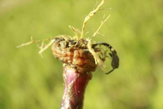 Nhiều diện tích hoa lay ơn bị vàng lá, tím gốc, thối rễ ảnh 2