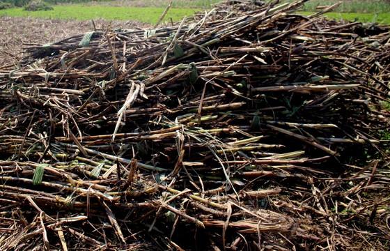 Quảng Ngãi: Nhà máy đường phải thu mua hết mía cho nông dân ảnh 1