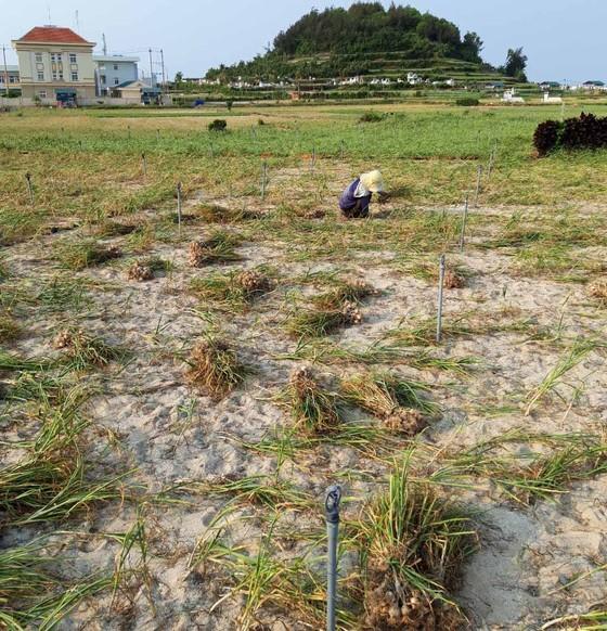 Quảng Ngãi: Tỏi Lý Sơn mất mùa, nắng nóng khô đồng ảnh 1