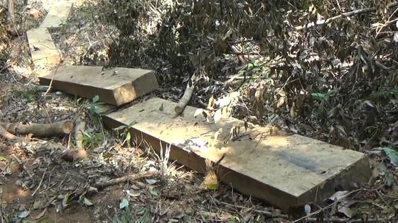 Kiểm tra, xử lý vụ rừng phòng hộ đầu nguồn suối Trà Veo, Quảng Ngãi bị tàn phá ảnh 1