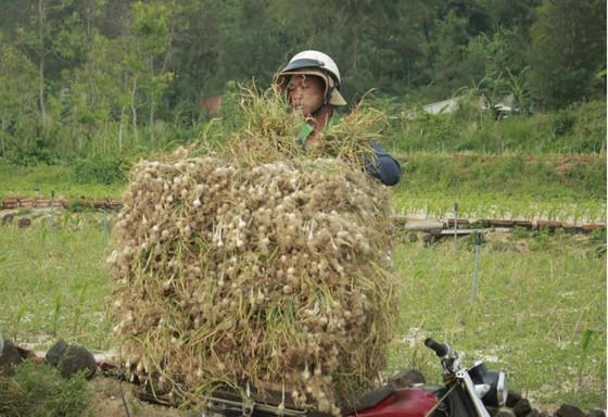 Quảng Ngãi: Công bố đường dây nóng bảo vệ tỏi Lý Sơn ảnh 1