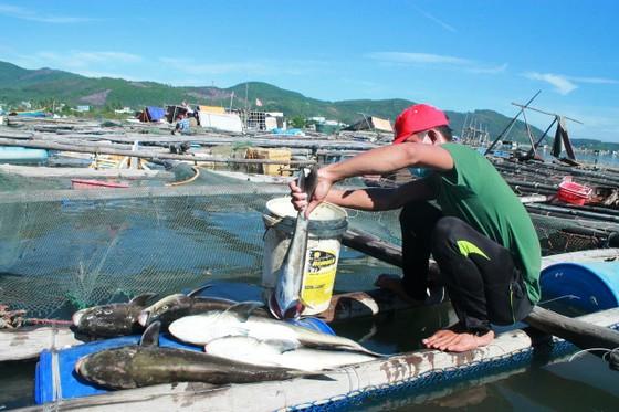Quảng Ngãi: Cá bớp nuôi lồng bè đảo Lý Sơn chết bất thường ảnh 1