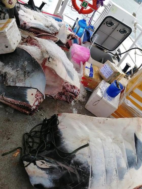 """Ngư dân Lý Sơn bắt được cá đuối """"khủng"""" nặng 600kg ảnh 1"""