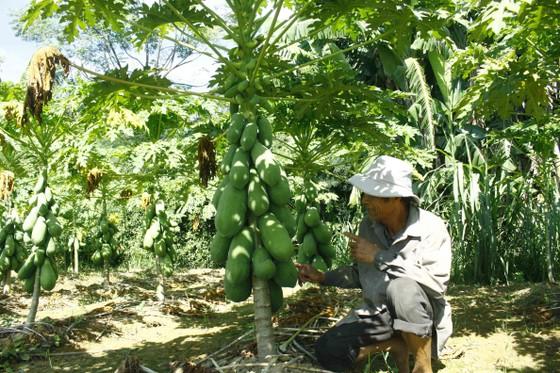 Vườn đu đủ xanh ngắt trĩu trái ở Quảng Ngãi ảnh 2