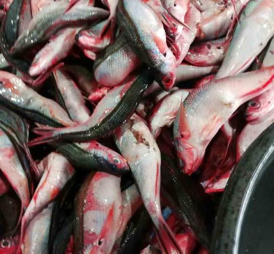 Quảng Ngãi: Làng làm chả cá đỏ củ từ Hoàng Sa  ảnh 1