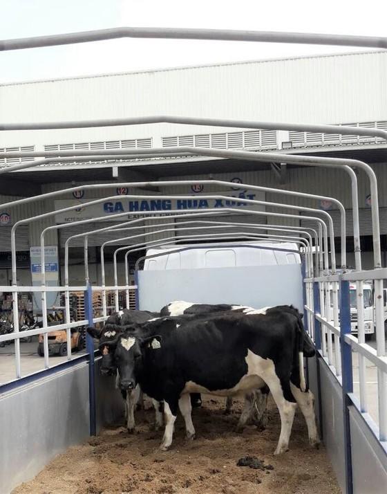 Vinamilk tiên phong nhập khẩu bò sữa chất lượng cao về Việt Nam ảnh 3