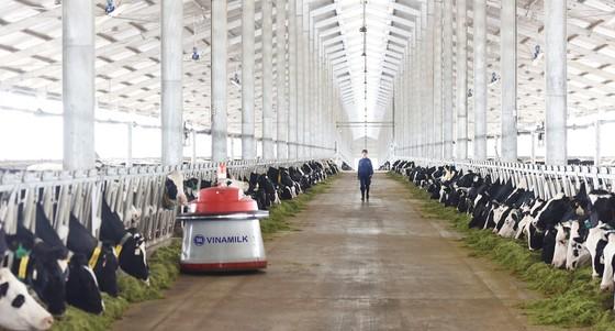 Vinamilk tiên phong nhập khẩu bò sữa chất lượng cao về Việt Nam ảnh 4