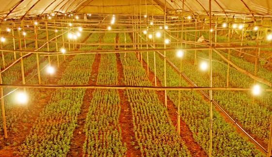 Chiếu sáng hoa cúc bằng đèn led tiết kiệm 70% điện năng tiêu thụ ảnh 1