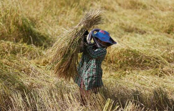 EU áp thuế trở lại đối với gạo nhập khẩu từ Campuchia và Myanmar  ảnh 1