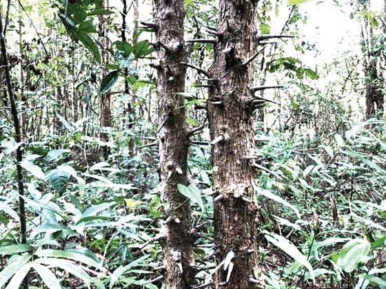Cây thành ngạnh gai xâm lấn đồng cỏ Vườn Quốc gia Chư Mom Ray ảnh 2