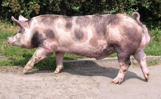 越南8 種特產土豬 ảnh 1