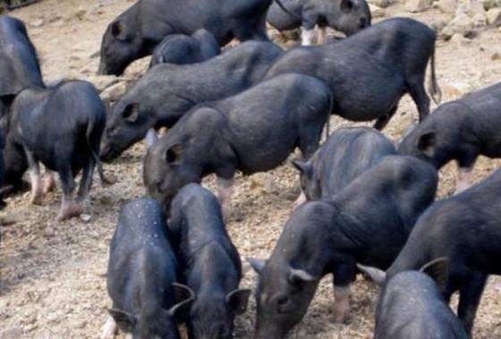 越南8 種特產土豬 ảnh 3