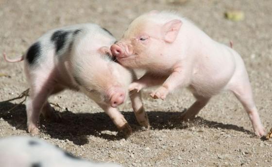 越南8 種特產土豬 ảnh 7