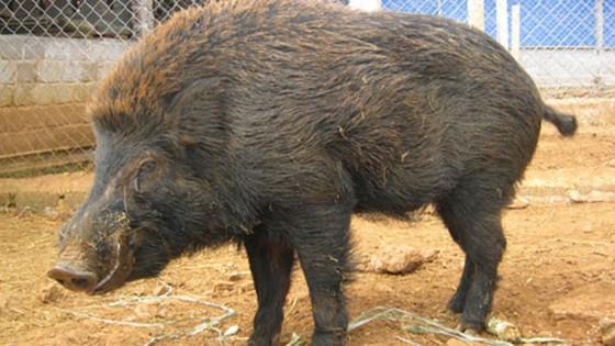 越南8 種特產土豬 ảnh 5