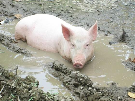 越南8 種特產土豬 ảnh 2