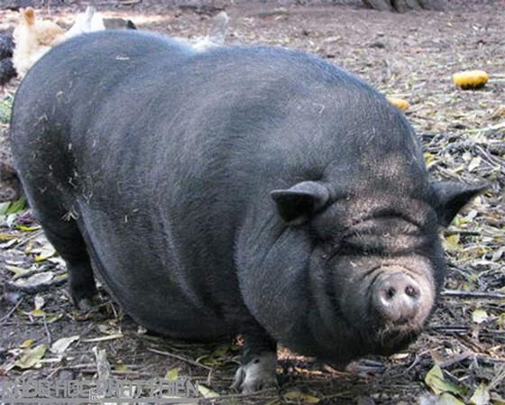 越南8 種特產土豬 ảnh 4