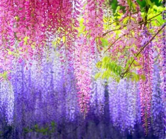 日本最美紫藤隧道 ảnh 1