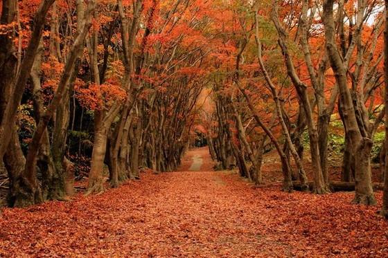 日本最美紫藤隧道 ảnh 5