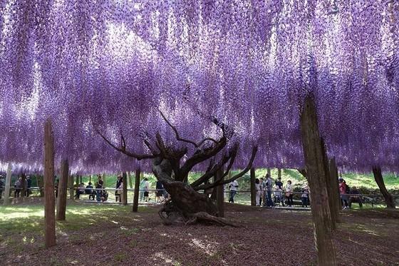 日本最美紫藤隧道 ảnh 4