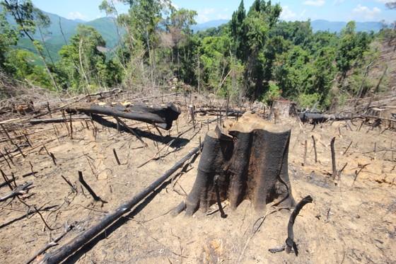 Buông lỏng quản lý, cả trăm ha rừng ở Quảng Nam bị tàn phá ảnh 2