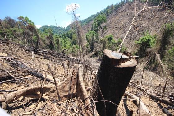 Buông lỏng quản lý, cả trăm ha rừng ở Quảng Nam bị tàn phá ảnh 7