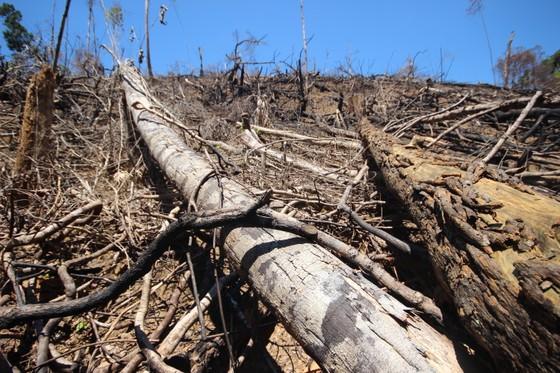 Buông lỏng quản lý, cả trăm ha rừng ở Quảng Nam bị tàn phá ảnh 6