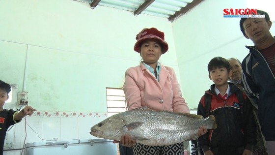 Ngư dân Quảng Nam bắt được cá nghi là cá sủ vàng  ảnh 2