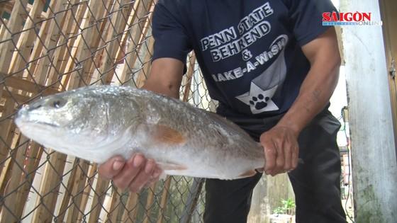 Ngư dân Quảng Nam bắt được cá nghi là cá sủ vàng  ảnh 5