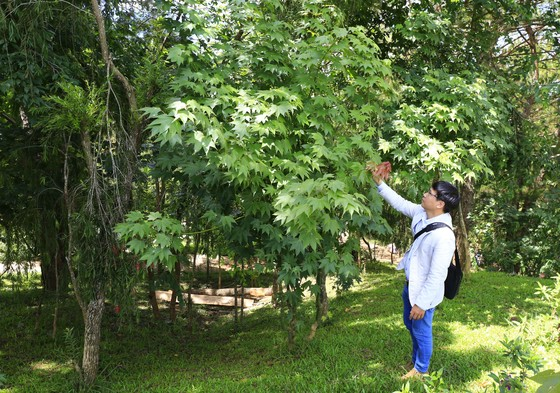 Khu rừng hơn 2.000 cây lá phong phục vụ du khách ảnh 1