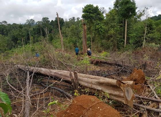 Khởi tố 4 bị can trong vụ phá rừng tự nhiên quy mô lớn tại Lâm Đồng ảnh 2