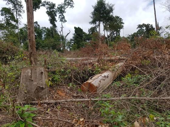 Khởi tố 4 bị can trong vụ phá rừng tự nhiên quy mô lớn tại Lâm Đồng ảnh 1