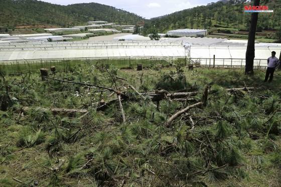 Xử phạt 3 đối tượng phá rừng thông hơn 40 năm tuổi ở Đà Lạt ảnh 1