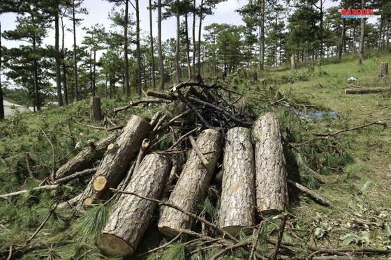 Xử phạt 3 đối tượng phá rừng thông hơn 40 năm tuổi ở Đà Lạt ảnh 4