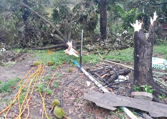 Nhiều vườn sầu riêng đặc sản bị lốc xoáy tàn phá nặng nề  ảnh 1