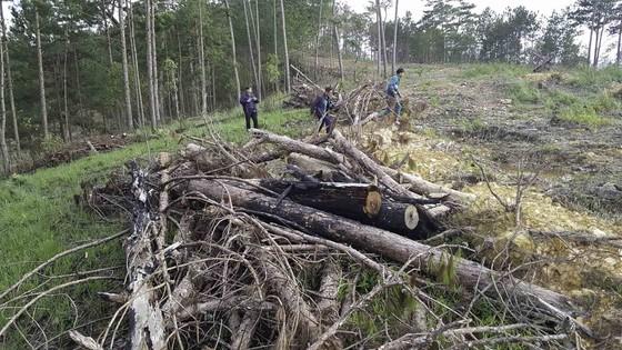 Yêu cầu kiểm tra, xử lý các vụ phá rừng tại Lâm Đồng ảnh 2