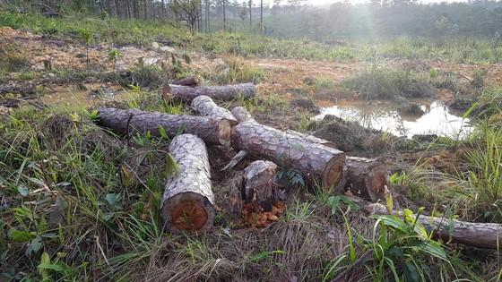 Khởi tố bị can phá gần 4ha rừng thông, chiếm đất ảnh 2