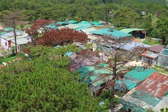 Hàng loạt cây thông ở Đà Lạt bị 'bức tử' trong khu dân cư ảnh 1