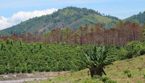 Khởi tố đối tượng chủ mưu phá 10ha rừng thông tại Lâm Đồng ảnh 8