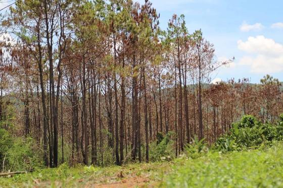Khởi tố đối tượng chủ mưu phá 10ha rừng thông tại Lâm Đồng ảnh 7