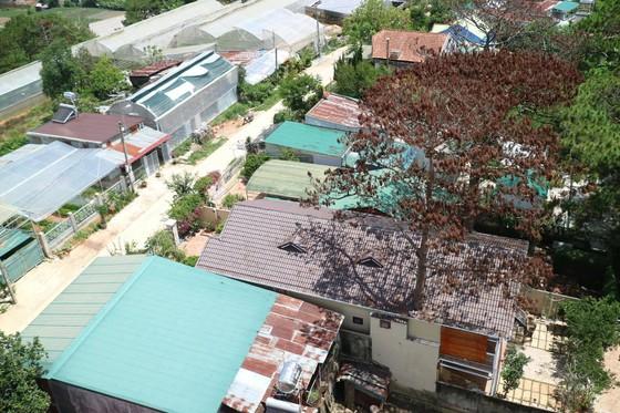 Những cây thông Đà Lạt bị 'nhốt' trong nhà ảnh 10